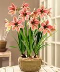Exotic Star Amaryllis: Гипеаструмы Exotic Star Amaryllis (с) Dutch Gardens